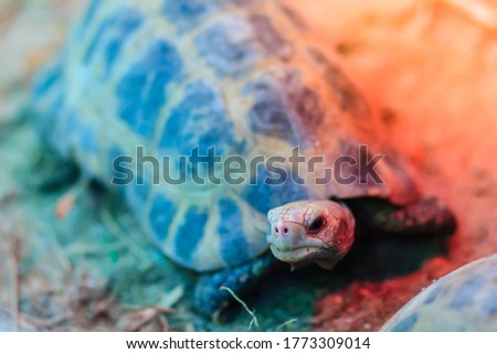 The elongated or yellow-headed tortoise (Indotestudo elongata) occurs in tropical southeast Asia