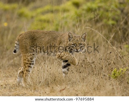 the elusive bobcat