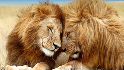 The embrace of two lions