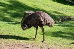 the emu is a tall flightless bird