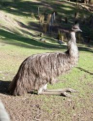 the emu is a tall flightless bird with a long neck