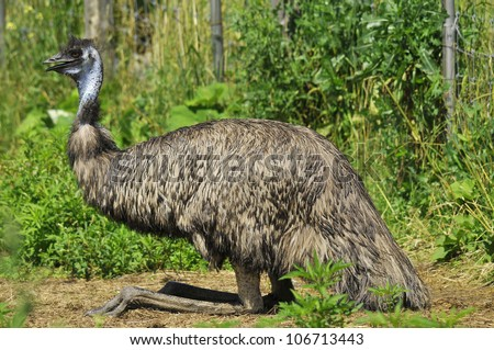 The Emu is the largest bird native to Australia and the only extant member of the genus Dromaius.