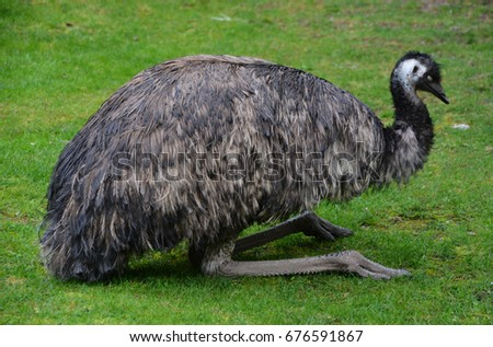 Shutterstock The emu is the largest bird native to Australia and the only extant member of the genus Dromaius. It is the second-largest extant bird in the world by height, after its ratite relative, the ostrich