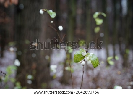 The end of November in the forest, wet leaves and fruits of the white snowberry, the beginning of winter in the era of global warming, copy space Photo stock ©