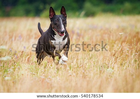 the English bull terrier jumping in a grass in the summer #540178534
