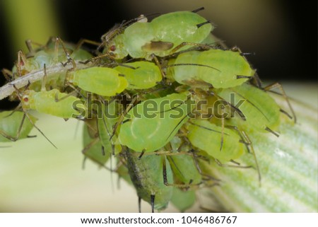 The English Grain Aphid (Sitobion avenae) on oat. It is an aphid in the superfamily Aphidoidea in the order Hemiptera pest of cereals.