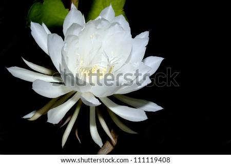 The Epiphyllum,Night-blooming Cereus