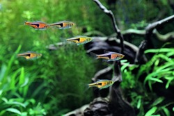 The Espe's rasbora (false harlequin rasbora, lambchop rasbora) in freshwater aquarium. Trigonostigma espei is a small very friendly schooling fish perfect for any planted community aquarium.