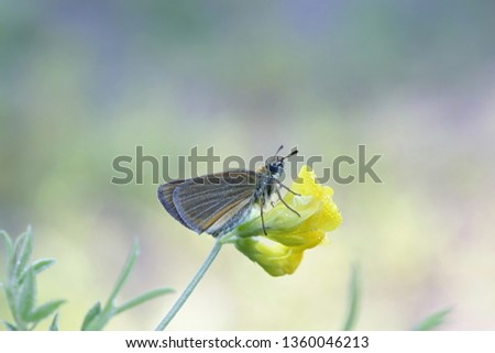 The Essex skipper, Thymelicus lineola, also known as European skipper