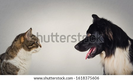 The eternal duel between dog and cat for the title of the best pet. Kitten vs puppy rivalry, standing one in front another, isolated on grey wall. Leadership competition, opposition concept. Stockfoto ©