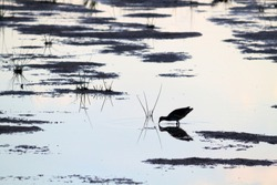 The Eurasian coot (Fulica atra) running on water at lake at the evening