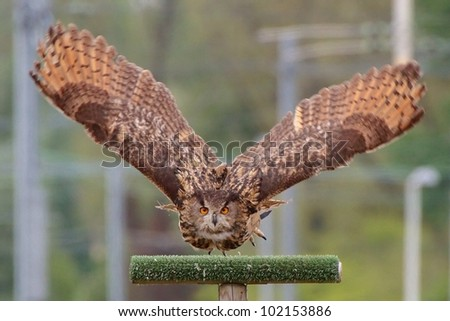 The Eurasian Eagle-Owl (Bubo bubo) flying and looking straight into the camera. - stock photo