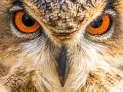 The Eurasian Eagle Owl Eyes is one of the largest owls in Europe. The owl species has distinctive orange coloured eyes. The Eagle Owl is capable of eating small mammals up to the size of a small deer.