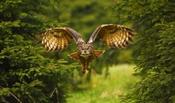 The Eurasian eagle-owl flying in the forest in the mountains low tatra