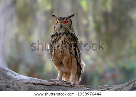 The Eurasian eagle-owl is a species of eagle-owl that resides in much of Eurasia. It is also called the European eagle-owl and in Europe, it is occasionally abbreviated to just the eagle-owl.