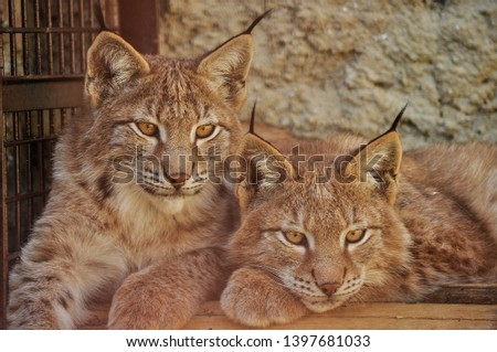 The Eurasian lynx is wild cat occurring from Central, Eastern and Northern Europe. Also can be seen in Asia and Siberia. Lynx lynx is medium sized cat liveing in boreal forests. Two siblings #1397681033