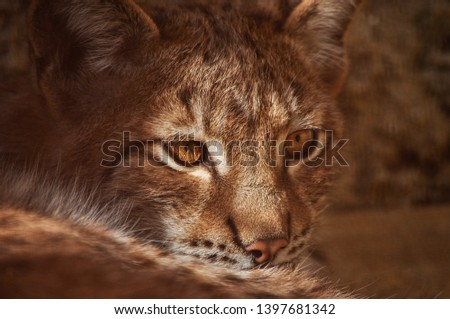 The Eurasian lynx is wild cat occurring from Central, Eastern and Northern Europe. Also can be seen in Asia and Siberia. Lynx lynx is medium sized cat liveing in boreal forests. Zoomed for head. #1397681342