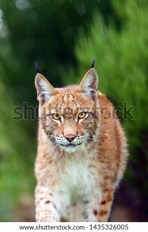 The Eurasian lynx (Lynx lynx), portrait. Eurasian lynx portrait. Cat portrait insite the greenery. #1435326005