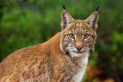The Eurasian lynx (Lynx lynx), portrait. Siberian lynx portrait.
