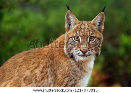 The Eurasian lynx (Lynx lynx), portrait. Siberian lynx portrait. #1217078815