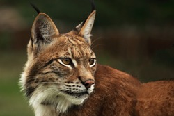 The Eurasian lynx (Lynx lynx) staying in front of the forest. Young male with green background. Lynx portrait in morning sun.