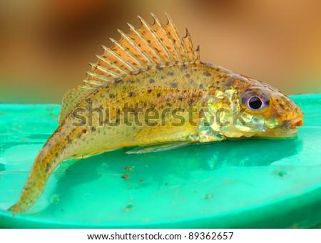 The eurasian ruffe gymnocephalus cernuus is a freshwater for Predatory freshwater fish
