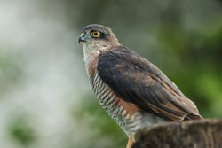 The Eurasian sparrowhawk, also known as the northern sparrowhawk or simply the sparrowhawk, is a small bird of prey in the family Accipitridae.