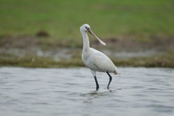 The Eurasian spoonbill, or common spoonbill, is a wading bird of the ibis and spoonbill family Threskiornithidae.