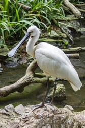 The Eurasian spoonbill (Platalea leucorodia) is a wading bird of the ibis and spoonbill family Threskiornithidae.  The breeding bird is all white except for its dark legs, black bill.