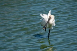 The Eurasian spoonbill (Platalea leucorodia), or common spoonbill, is a wading bird of the ibis and spoonbill family