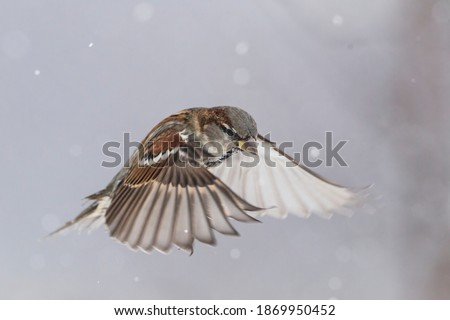 The Eurasian tree sparrow (Passer montanus) flying while snowflakes are flying around him. Beutiful scenery of winter time. Rare snapshot ストックフォト ©