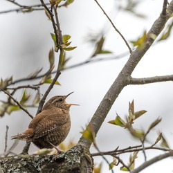 The Eurasian wren (Troglodytes troglodytes) is a very small songbird. The bird sits on a wooden branch singing. Soft focus, shallow debt of field, blurred background.