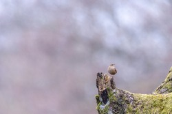 The Eurasian wren (Troglodytes troglodytes) is a very small songbird. The bird sits on a wooden mossy branch. Soft focus, shallow debt of field. Blurred background with empty space for text.