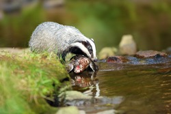The European badger (Meles meles) also known as the Eurasian badger or simply badger hunting near the forest creek.Big badger near water in dense forest with a wild duck as prey.