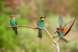 The European bee-eater (Merops apiaster) landing on a stick with prey in its beak. Three bee-etaters on a branch each with a bee in its beak and one with outstretched wings.