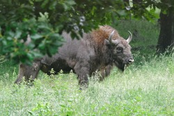 The European bison (Bison bonasus), also known as the wisent is a symbol of prehistory and protection of nature in Europe