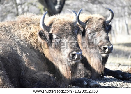 The European Bison - Wisent #1320852038