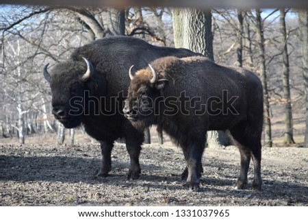The European Bison - Wisent #1331037965