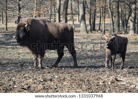 The European Bison - Wisent #1331037968