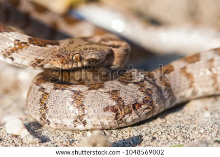 The European cat snake (Telescopus fallax), also known as the Soosan snake, is a venomous colubrid snake endemic to the Mediterranean and Caucasus regions. Macro image of a snake on rock