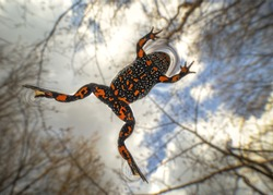 The European fire-bellied toad Bombina bombina) is a fire-bellied toad native to mainland Europe. Other common names used for the European fire-bellied toad include ringing frog, fiery toad, Laowa15mm