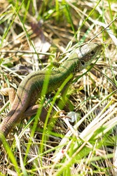 The European green lizard (Lacerta viridis) is a large lizard distributed across European midlatitudes. Svetlovodsk city, Ukraine. Beautifully colored reptile in nature habitat. Selective focus