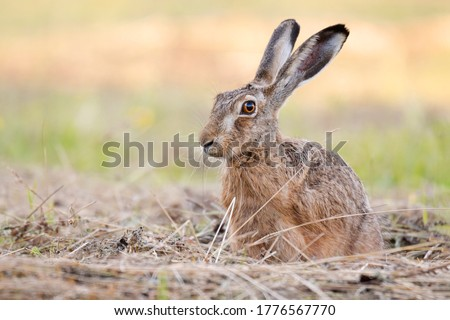 The European hare (Lepus europaeus), also known as the brown hare, standing on the mowed meadow. Beautiful evening lights on background. Brown fluffy fur, long ears, big orange eyes. Scene from wild.