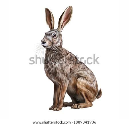 The European hare (Lepus europaeus) realistic drawing illustration for animal encyclopedia isolated image on white background