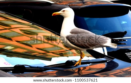 The European herring gull  is a large gull One of the best known of all gulls along the shores of western Europe, it was once abundant. #1100537621