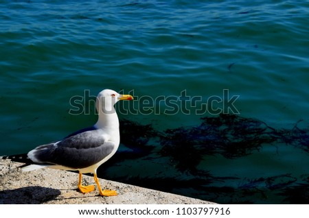 The European herring gull is a large gull One of the best known of all gulls along the shores of western Europe, it was once abundant. #1103797916