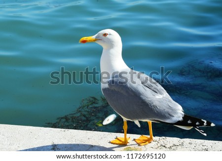 The European herring gull is a large gull One of the best known of all gulls along the shores of western Europe, it was once abundant. #1172695120