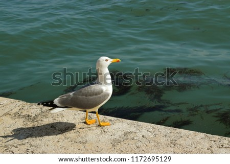 The European herring gull is a large gull One of the best known of all gulls along the shores of western Europe, it was once abundant. #1172695129