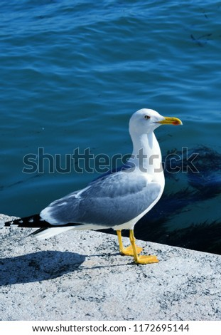 The European herring gull is a large gull One of the best known of all gulls along the shores of western Europe, it was once abundant. #1172695144