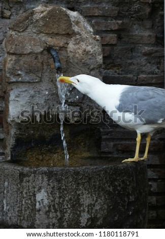 The European herring gull is a large gull One of the best known of all gulls along the shores of western Europe, it was once abundant. #1180118791